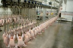 turkey poultry-factory