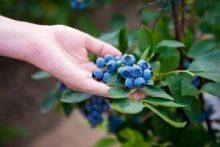 Highbush Blueberry-Vaccinium corymbosum