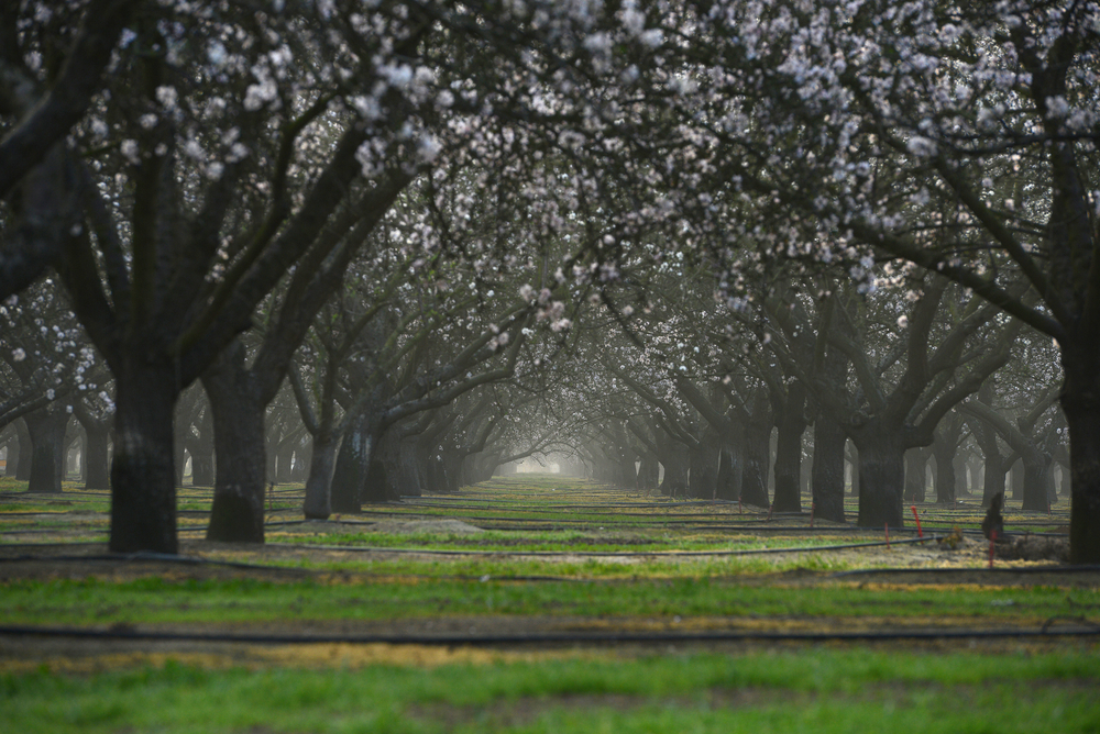 Almond Matters: Weed Control Programs Starting Earlier This Year