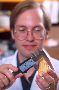 Geneticist Ed Buckler measures a maize ear for statistical analysis. Photo by Scott Bauer.