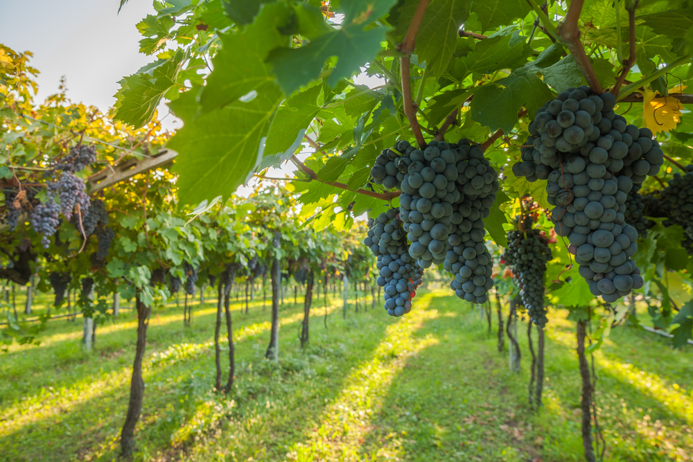 """Featured image for """"Preliminary Grape Crush Down Nearly 14 Percent from 2019"""""""