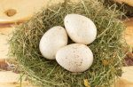 turkey duck eggs