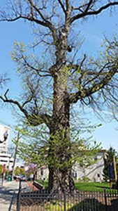A 200-year-old elm tree in Perth Amboy, New Jersey. Photo by New Jersey Department of Environmental Protection.