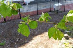 old elm tree