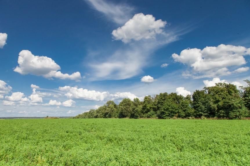 alfalfa forage