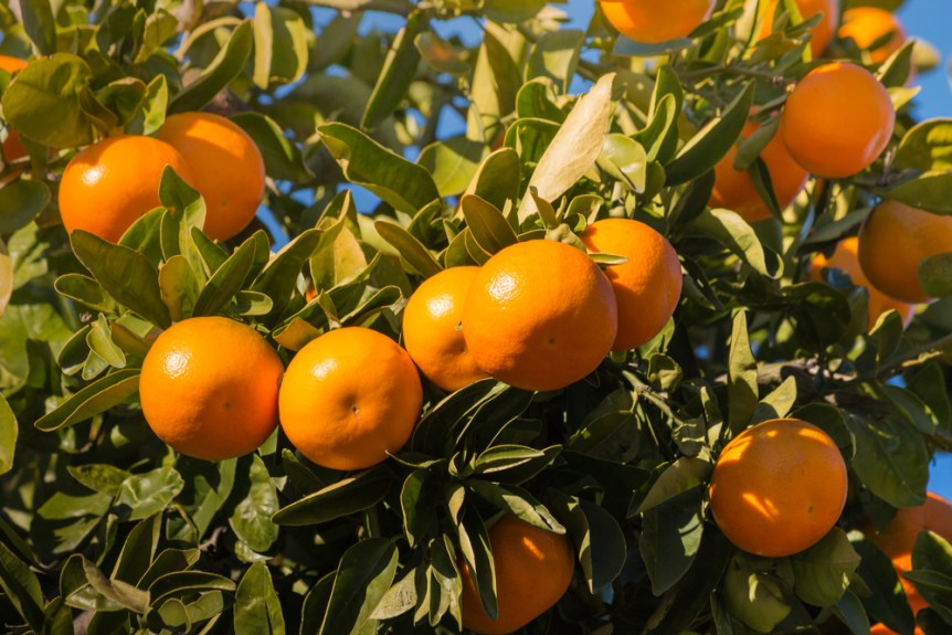 georgia citrus farming