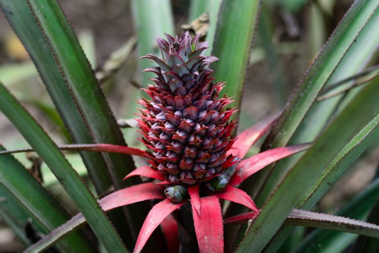 homegrown pineapple