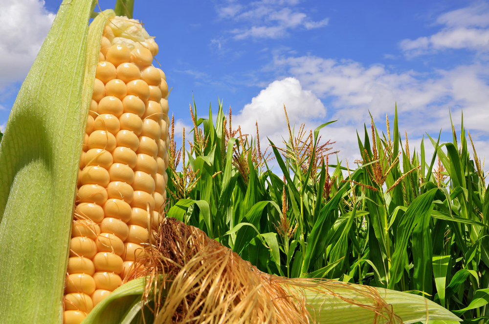 USDA Increases Corn, Soybean Production Forecast