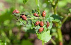 Colorado beetles larvae feeding on the potato leaf