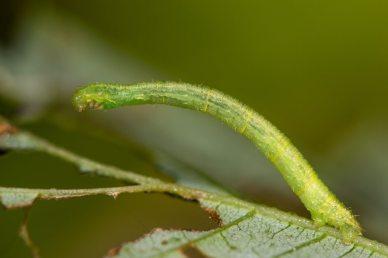 Currant pug (Eupithecia assimilata) moth caterpillar