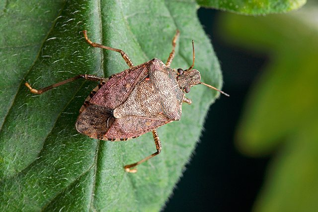 Brown Marmorated Stink Bug Becoming More of a Concern