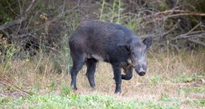 feral hog fight