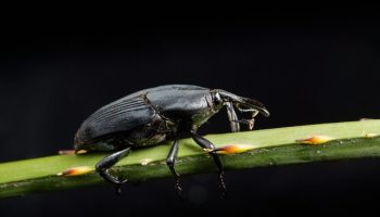 Scientists Work to Define Threat from Palm Pest | AgNet West