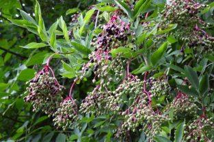 Wild Elderberry, Sambucus Nigra