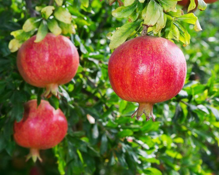 pomagranates