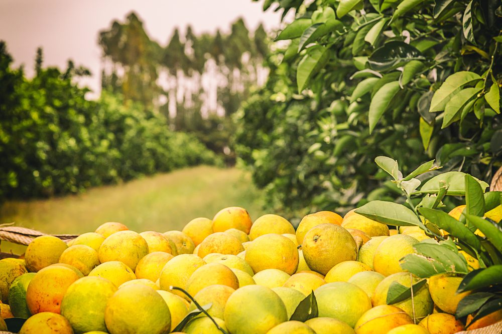 Citrus Season Recap with CCM's Casey Creamer
