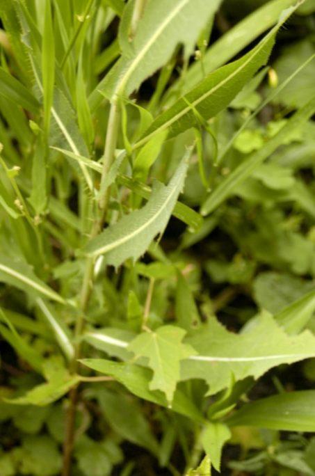 Prickly Lettuce (Lactuca serriola)