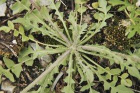 Shepherd's Purse (Capsella bursa pastoris)