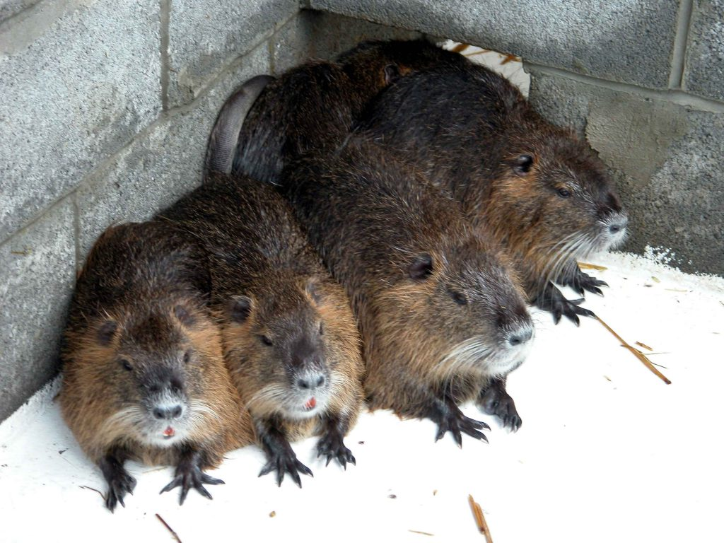 Nutria Issues Continue for California Farmers