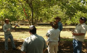 Walnut Pruning Trial