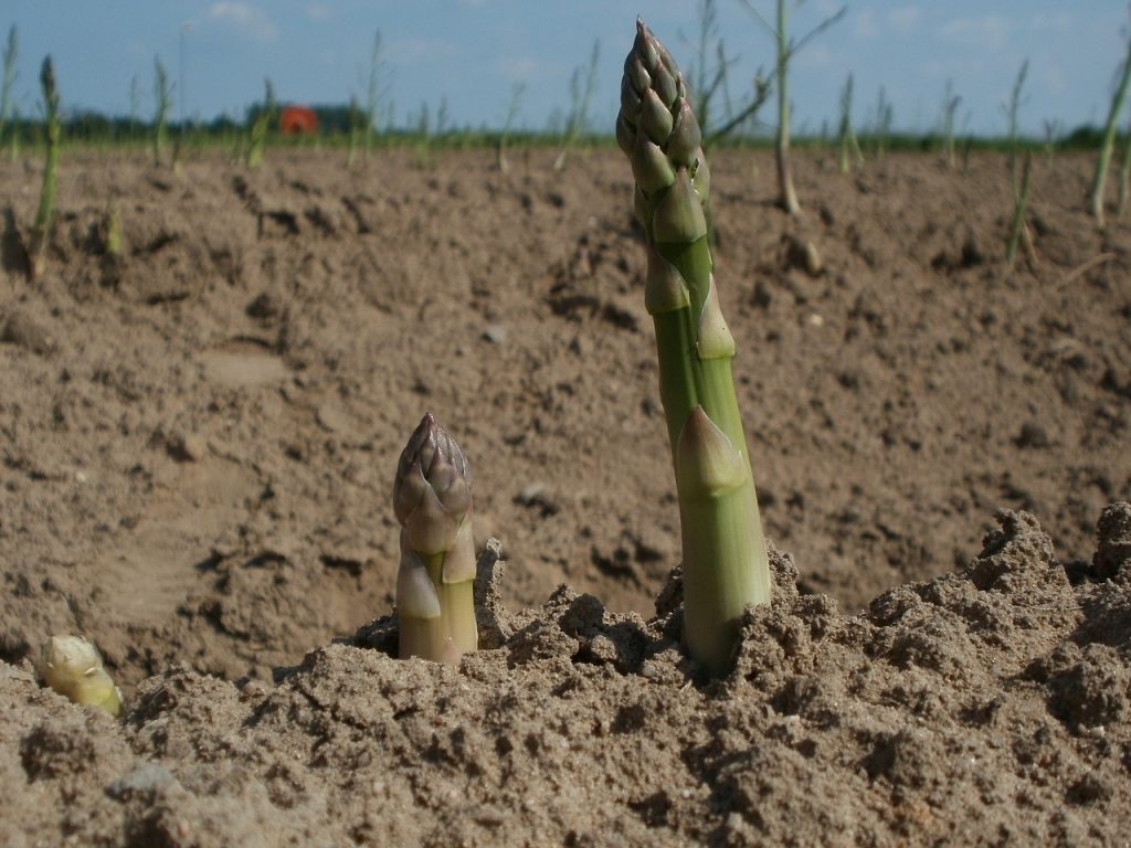 Dwindling Asparagus Industry Takes Another Blow