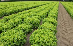 leafy greens food safety