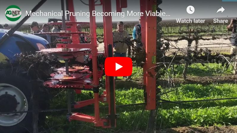 Mechanical Pruning Becoming More Viable for Grape Producers