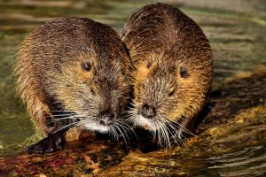 nutria threat