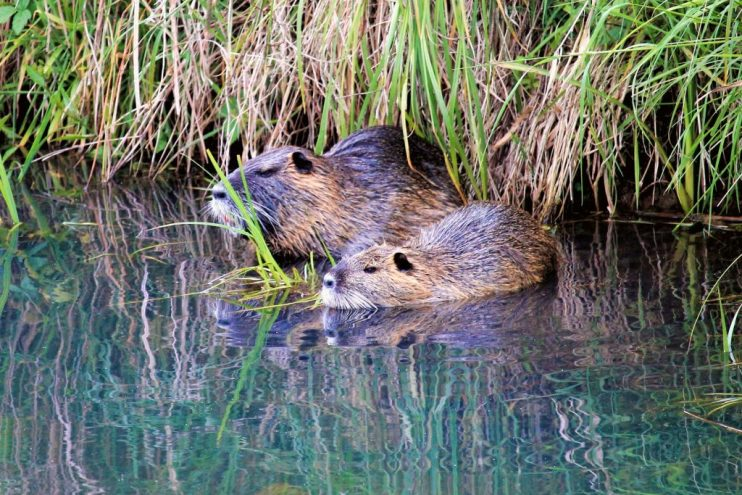 California nutria