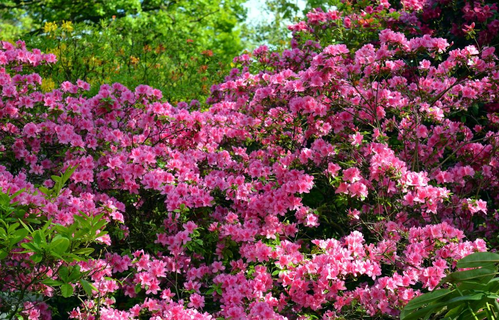 Flowering Bushes Add Beauty To Your Garden Agnet West