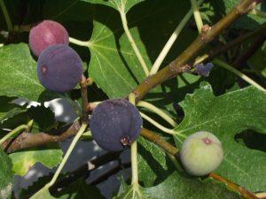 Black Fig Fly