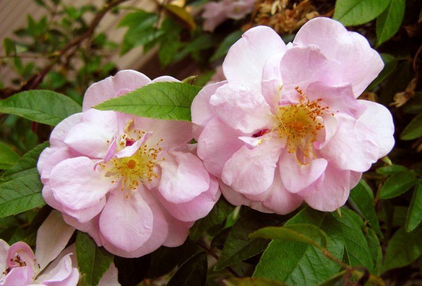 rose varieties