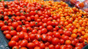 ToBRFV Resistant Tomato