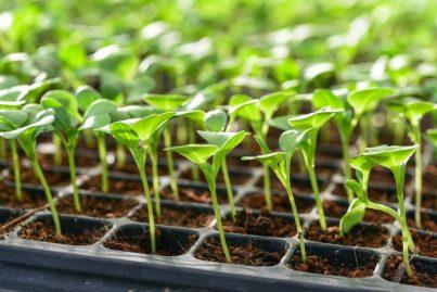 germinate seeds