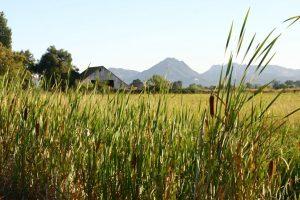 rice weeds