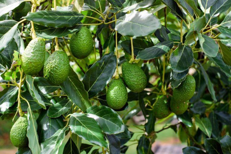 Avocado Forecast