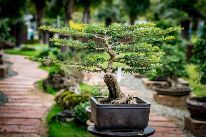 growing bonsai