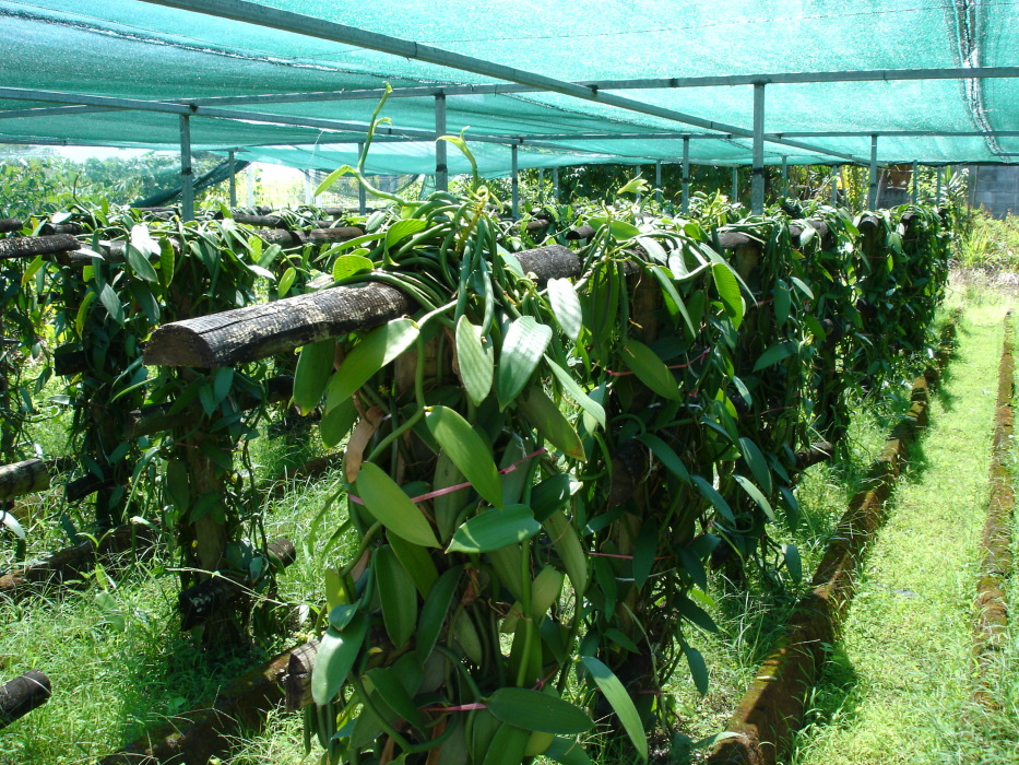 """Featured image for """"Helpful Tips to Getting Started Growing Vanilla Beans"""""""