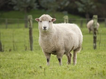 Sheep Blog Offers Advice on Keeping the Flock Healthy and Profitable | Agriculture and Natural Resources