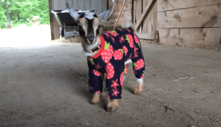 Baby Goats in Pajamas