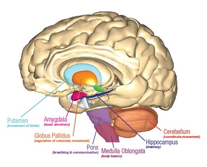 Affirmativ Diagnostics brain