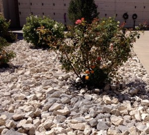 Cremated Remains in Rose Garden