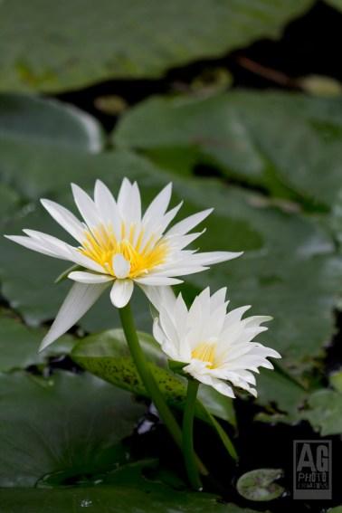 Auckland Winter Gardens Water Lillies