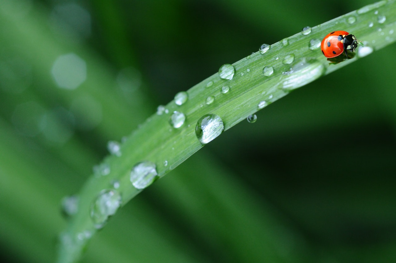 ladybug-drop-of-water-rain-leaf-40731