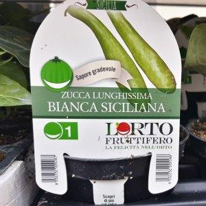 Zucca lunghissima bianca siciliana - Certaldo