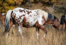 Бабезиоз лошадей - клинические признаки и симптомы