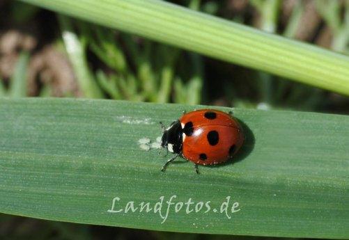 Ein Marienkäfer bei seiner Blattlaus-Mahlzeit. Marienkäfer und ihre Larven können große Mengen an Blattläusen vertilgen.