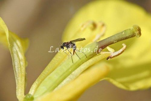 Den deutlich größeren Schaden macht allerdings die winzige Kohlschotenmücke - hier ein Weibchen bei der Eiablage in eine Rapsschote.