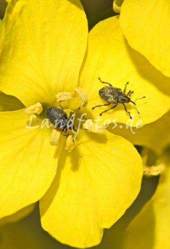 Aber auch die Blütenschädlinge haben jetzt Hochsaison und fliegen verstärkt in die Rapsfelder ein - wie hier der Kohlschotenrüssler.
