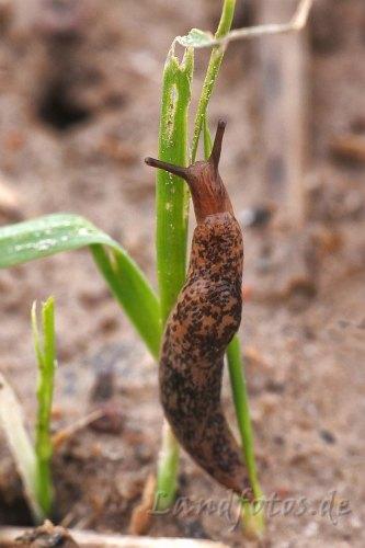 Ackerschnecke frisst an einer Weizenpflanze